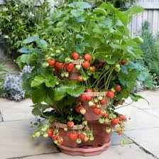 tips for growing fruit in containers
