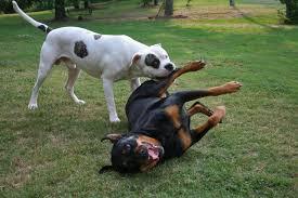 american bulldog vs pitbull fight. American Bulldog On Vs Pitbull Fight