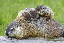 NatGeo Groundhog Mama