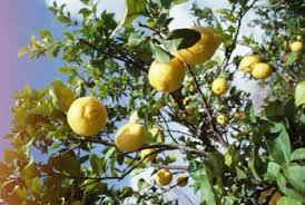 Homemade Lemon Tree Fungal U0026 Pest Spray  Home Guides  SF GateHomemade Spray For Fruit Trees