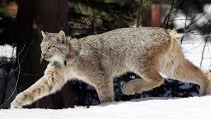 lynx size u s says snow loving lynx reintroduced in colorado in 1999 no
