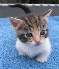 cute baby cats for sale.  Cute Miniature Munchkins Cat  Munchkin Breeders Australia  Kittens  For Sale Cute Baby Cats