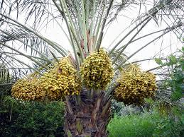 Citrus  Caldwell NurseryIranian Fruit Trees