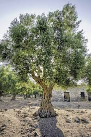 Learn How To Grow Olive Trees In The Home Landscape
