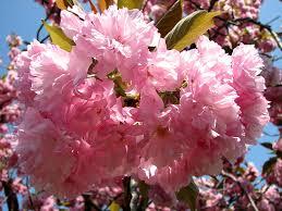 royal botanical gardens pink flowers