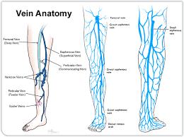 Leg Vein Chart Human Anatomy Diagram Veins Of The Leg Lower Extremity