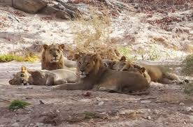 lion is a well made melodrama a rather disturbing message three of s most famous lion family were poisoned why