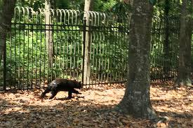 wilmington resident paula corbett saw a black bear cub running alongside the airlie gardens fence on