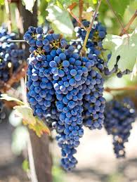 Grapevine Growing Caring For And Harvesting Grapes