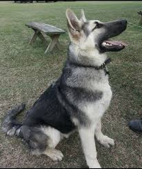 black and silver german shepherd.  And Black And Silver German Shepherd Pup Ayers Legends German Shepherds  Ayerslegendsgermanshepherds Germanshepherd Throughout And Silver Shepherd R