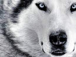 46+] White German Shepherd Wallpaper on ...
