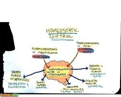 What Is Homeostasis In Biology Homeostasis Negative Feedback Body Temperature Blood