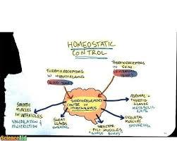 Homeostasis Negative Feedback Body Temperature Blood