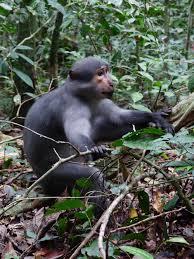 Laser Light To Scare Monkeys Monkeys Inform Group Members About Threats Following