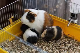 31 best guinea pig cages