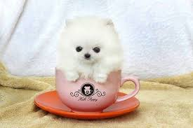pomeranian in a cup