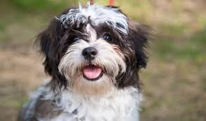 Small Picture Pictures of Shih Tzus and Kids Dog Breeds Puppies