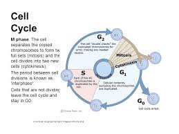 Cell Cycle Pie Chart Image Result For Cell Cycle Phases Cell Cycle Mitosis