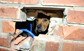 wall dog puppy gets stuck in brick wall in a daring escape attempt lives to tell