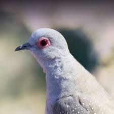 Mourning Dove Age Chart Diamond Dove Personality Food Care Pet Birds By Lafeber Co
