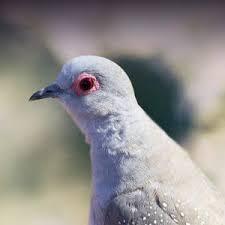 Diamond Dove Personality Food Care Pet Birds By Lafeber Co