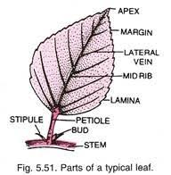 Leaf Definition Characteristics And Functions With Diagram