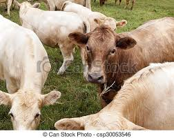 dairy cow face. Plain Cow Brown Dairy Cow Face  Csp30053546 In