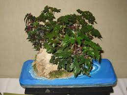 nia dregei bonsai