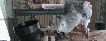 African Grey Parrot Congo African Grey