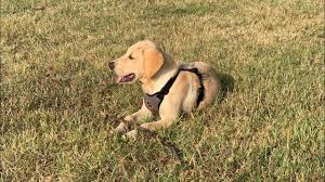 Goldador Dog Breed Information and Facts