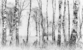 black and white birch tree wall mural