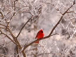 winter cardinal wallpaper. Modren Winter 1024x768  For Winter Cardinal Wallpaper L