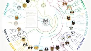 Canine Evolution Chart A Simple Chart Shows How Dogs Today Evolved From A Wolf