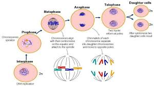 Interphase Mitosis