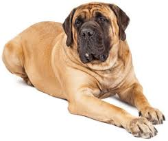 Best Dog Food For A Mastiff Puppies Adults Senior Dogs