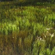 Sparganium natans (arctic bur-reed): Go Botany