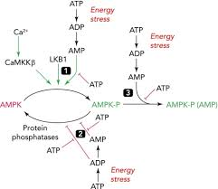 Adp Conversion Chart Regulation Of Mammalian Ampk By Adenine Nucleotides And Open I
