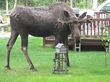 Moose Growth Chart Moose Wikipedia