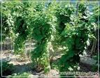 Малина садовая посадка и уход фото