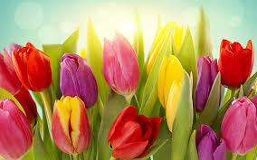 diffe colors of tulip flowers