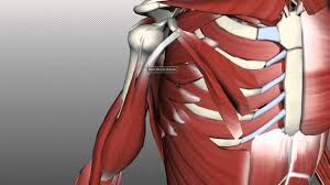 Regions, joints, muscles for this reason, the anatomy of the upper limb from the aspect of muscles will be reviewed topographically. Muscles Of The Upper Arm Anatomy Tutorial Youtube