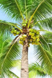 Mango Tree And Fruits Image  Goingfabulous  Fruit And Veggies Kerala Fruit Trees