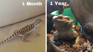 Bearded Dragon Growth 1 Month 1 Year