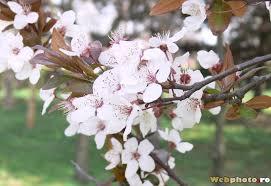Imagini pentru pomi infloriti