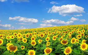 Sunrise Sunflower Wallpapers Hd ...