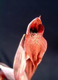 Serapias - Wikipedia