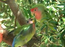 Begginers Guide To African Lovebird Agapornis Lovebirds