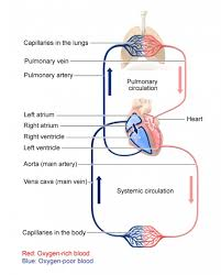 Double Circulation Flow Chart What Is The Path Of Blood Through The Circulatory System
