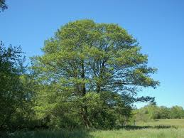 Image result for black alder