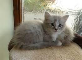 ragain kittens for adoption in texas florida singapore